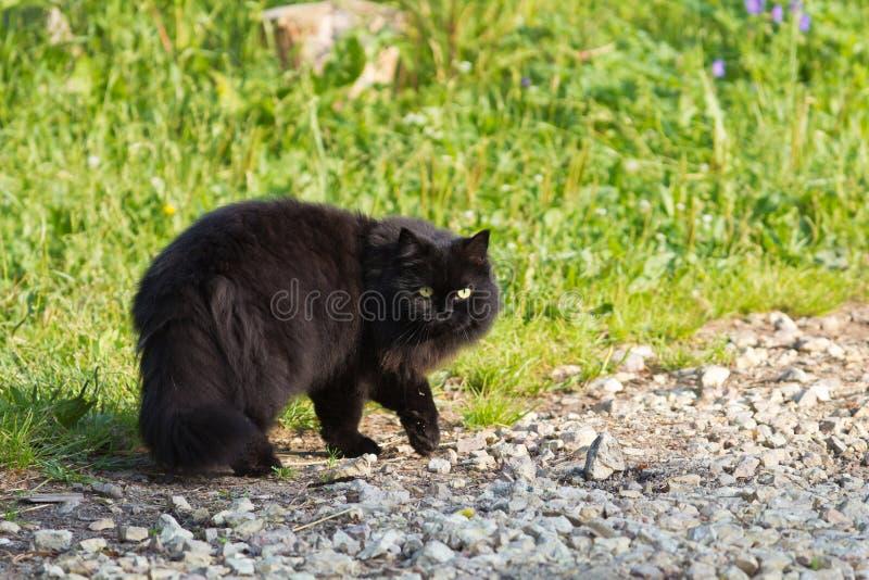 Gato preto de cabelos compridos fotografia de stock royalty free