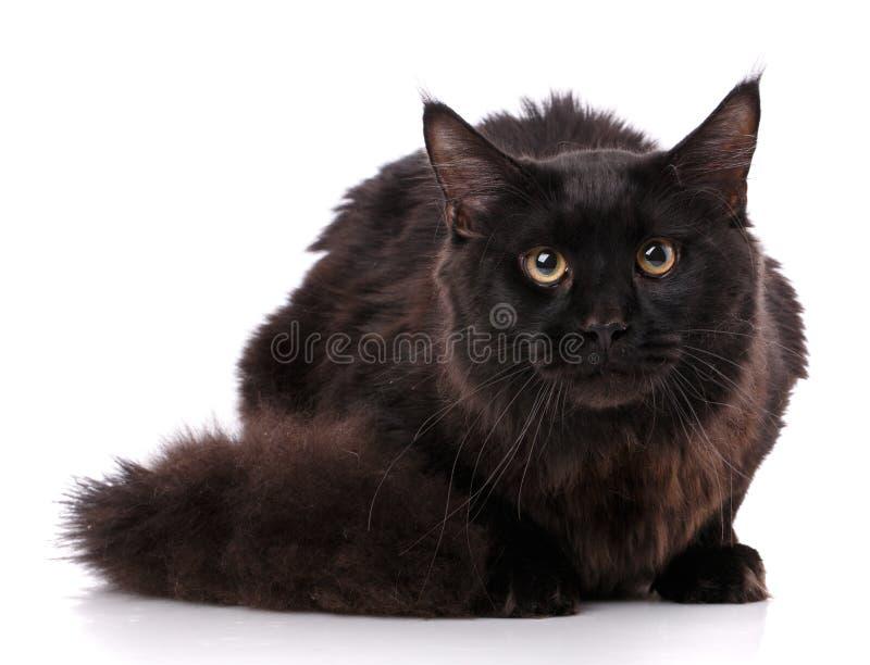 Gato preto de Maine Coon com o cabelo ondulado marrom longo, encontrando-se na parte dianteira imagem de stock royalty free