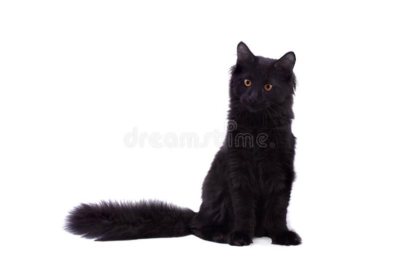 Gato preto de Maine Coon no branco imagem de stock