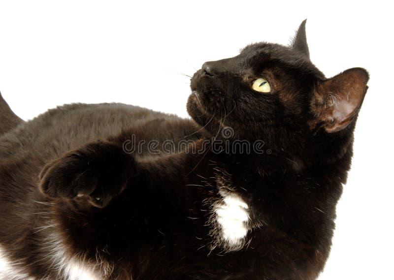 Gato preto e branco fotos de stock