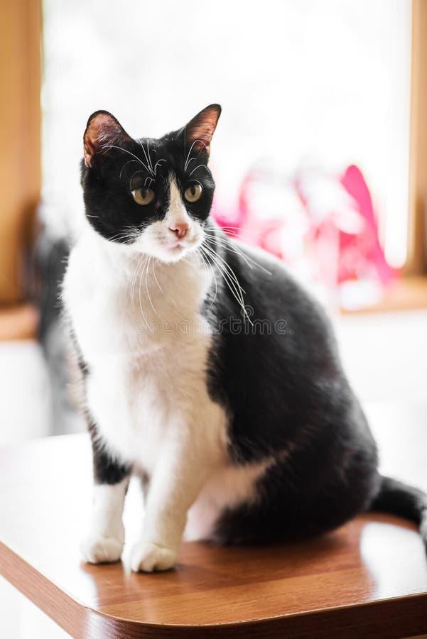 Gato preto e branco da fêmea adulta fotografia de stock