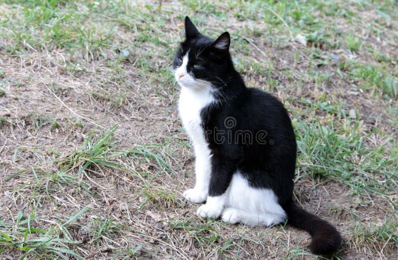 Gato preto e branco que senta-se em um fundo da grama queimada imagem de stock