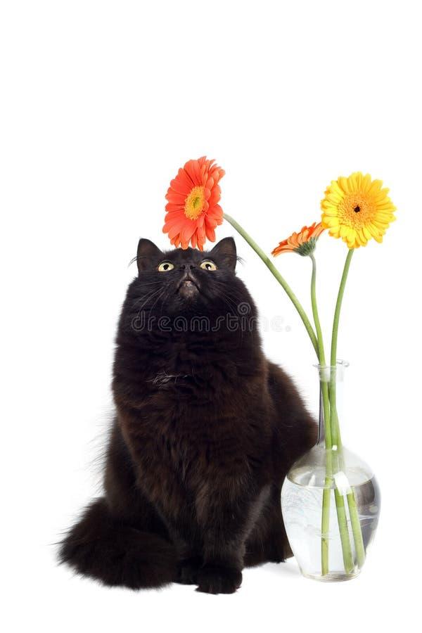 Gato preto e margaridas fotografia de stock