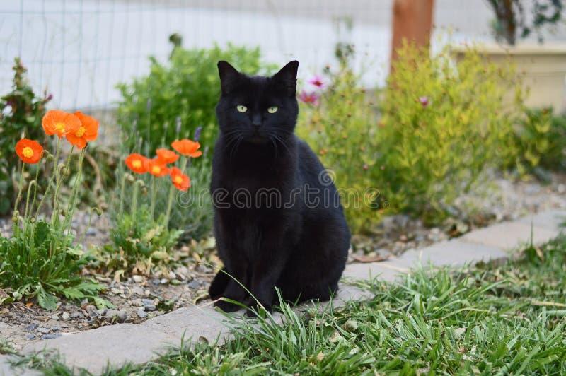 Gato preto e papoilas fotos de stock royalty free