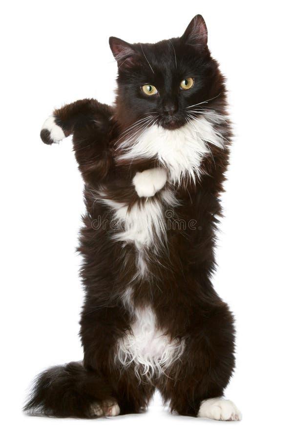 Gato preto em um fundo branco foto de stock royalty free