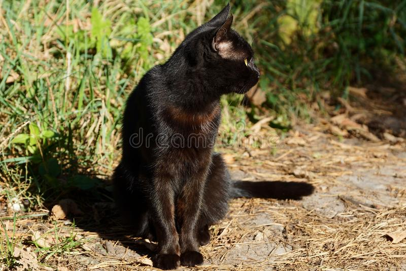 Gato preto grande que senta-se na terra perto da grama verde fotografia de stock