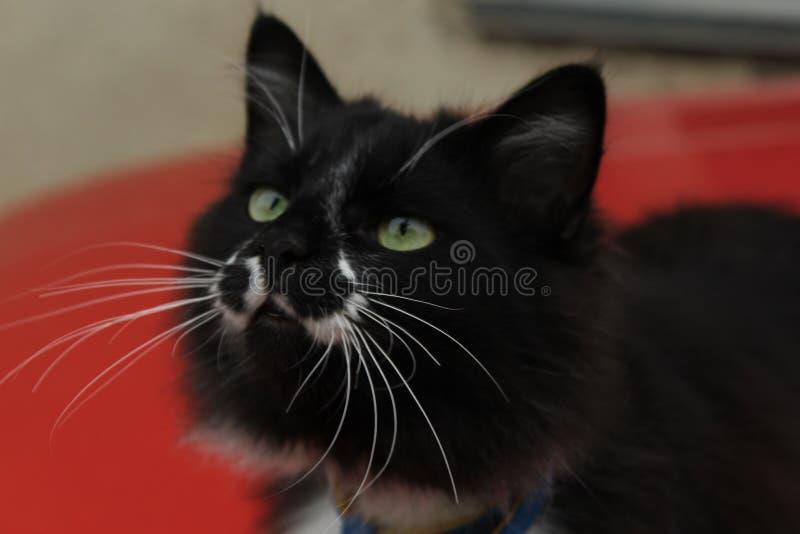 Gato preto no fundo vermelho imagem de stock