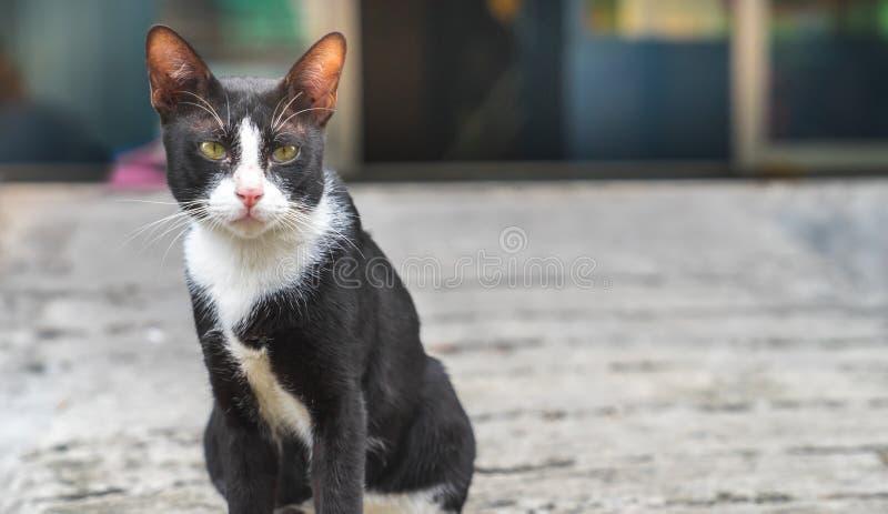 Gato preto pequeno com o gato branco da estática da marca do colar que senta-se no engodo foto de stock royalty free