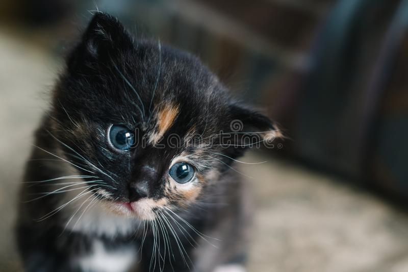 Gato preto pequeno com os pontos e olhos azuis brancos e vermelhos fotos de stock royalty free