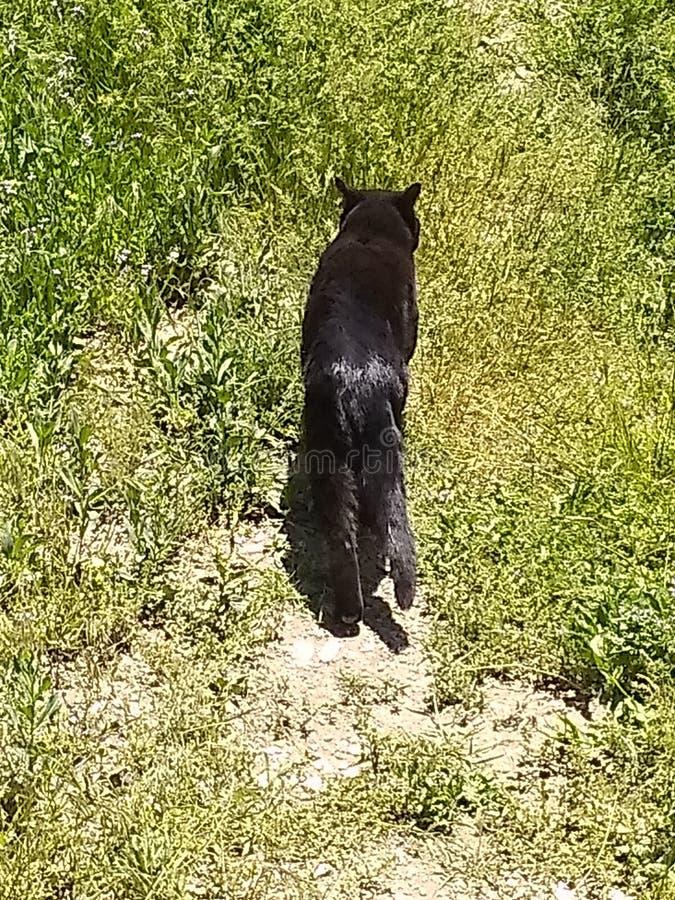 Gato preto que anda afastado 3 imagens de stock royalty free