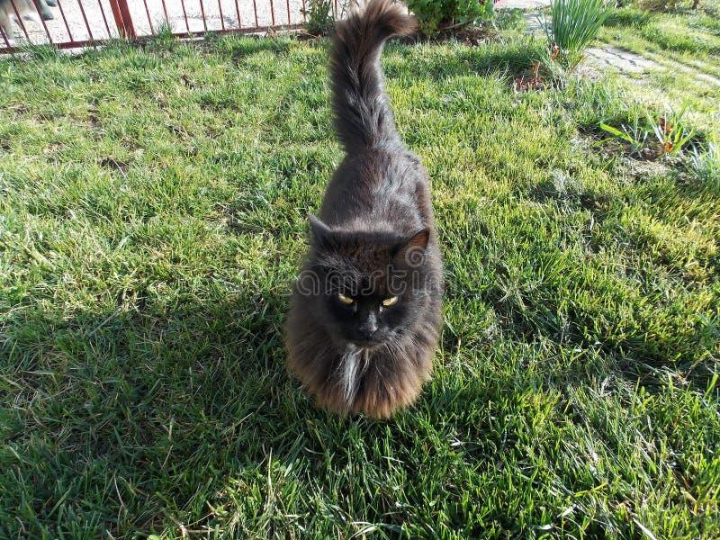 Gato preto que anda na grama verde imagem de stock