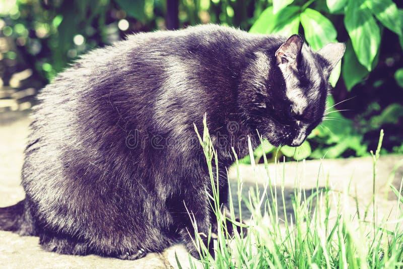 Gato preto que anda no trajeto do jardim perto do gramado e dos arbustos da grama fotografia de stock