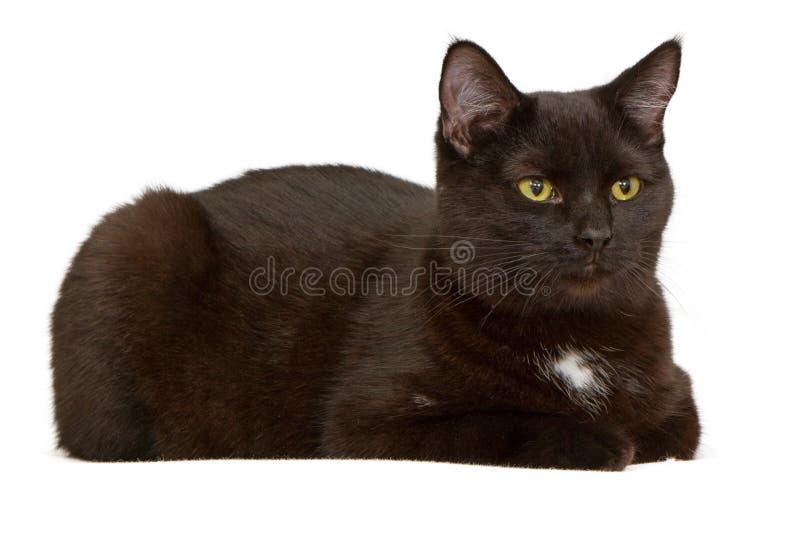 Gato preto que coloc e isolado no branco imagem de stock