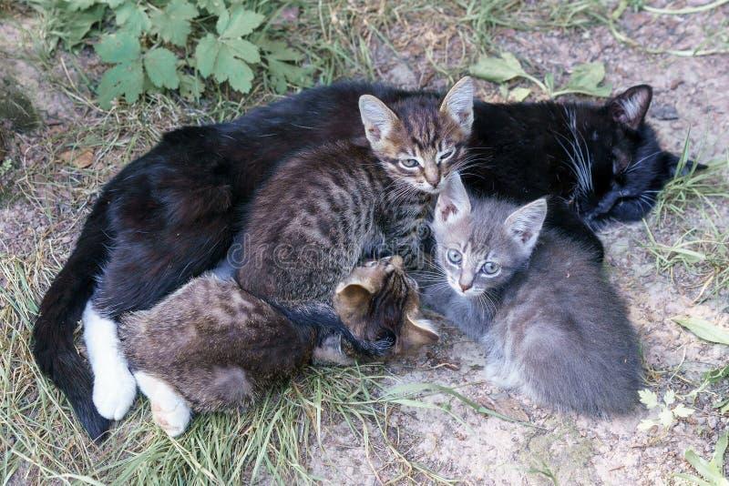Gato preto que encontra-se na grama O gato preto alimenta seus gatinhos bonitos fotografia de stock royalty free