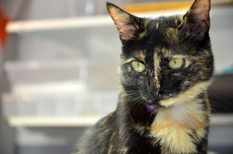 Gato preto que levanta para a foto na loja fotos de stock