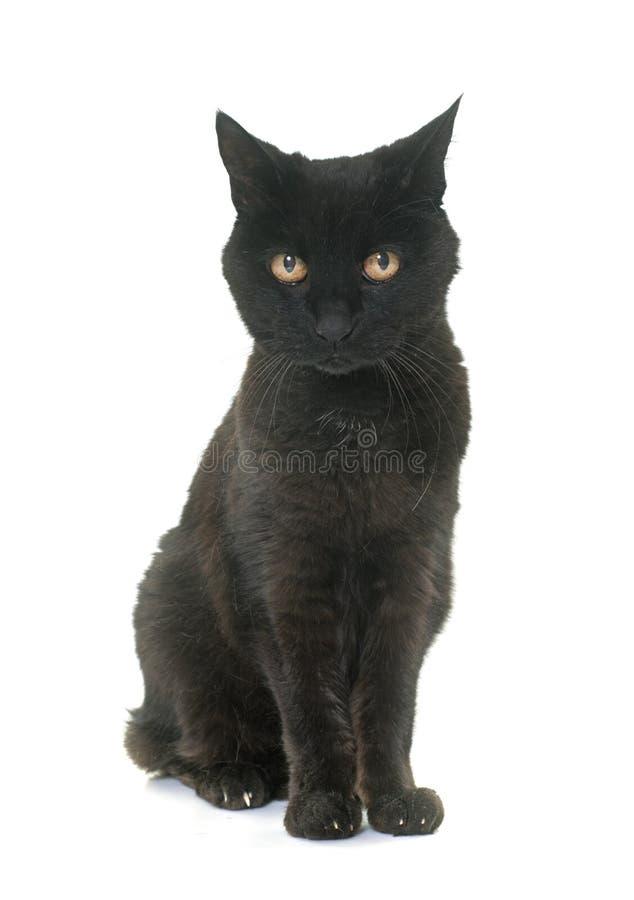 Gato preto velho foto de stock royalty free
