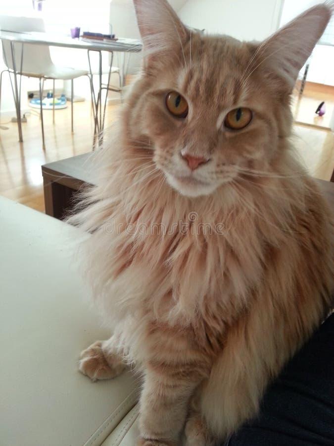 gato principal del varón del mapache foto de archivo