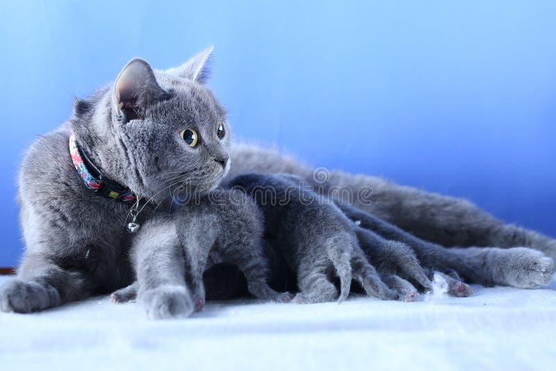 Gato que alimenta lhe gatinhos rec?m-nascidos, fundo azul imagens de stock royalty free
