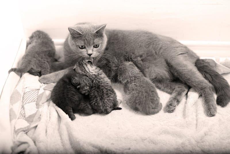 Gato que alimenta a sus bebés foto de archivo libre de regalías