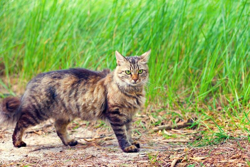 Gato que anda na grama imagens de stock royalty free