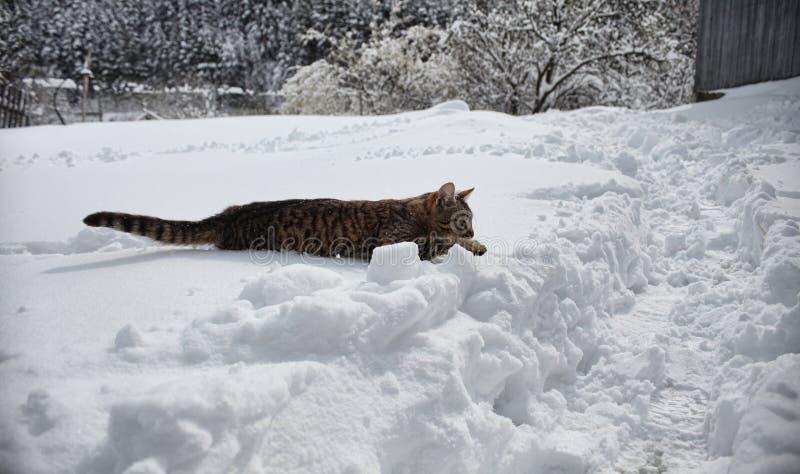 Gato que anda na neve grande imagem de stock