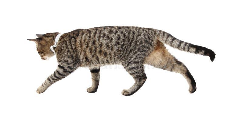 Gato que camina imagen de archivo