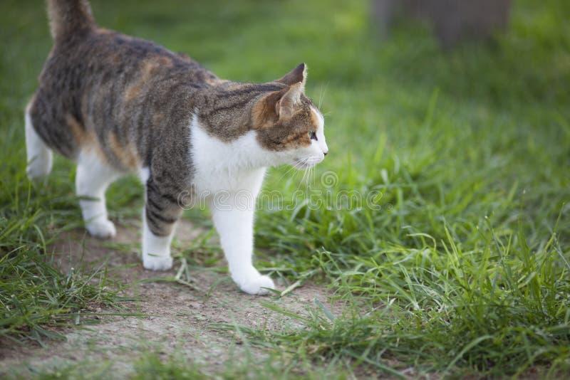 Gato que camina imagen de archivo libre de regalías