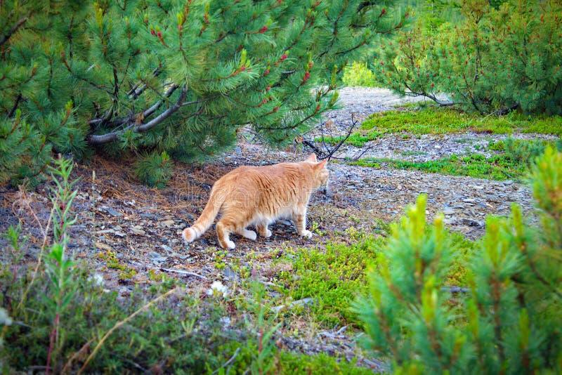 Gato que camina en el bosque imagen de archivo libre de regalías
