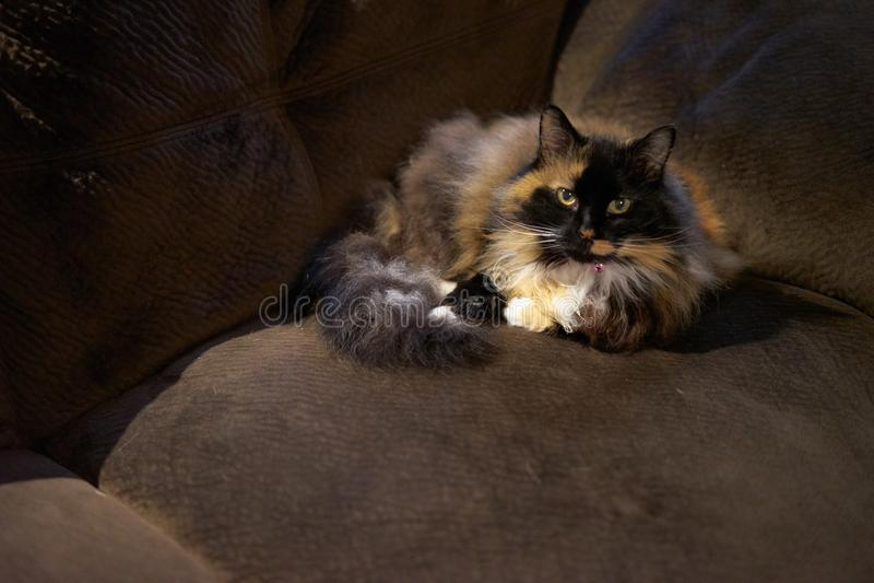 gato que coloca no sofá fotografia de stock royalty free