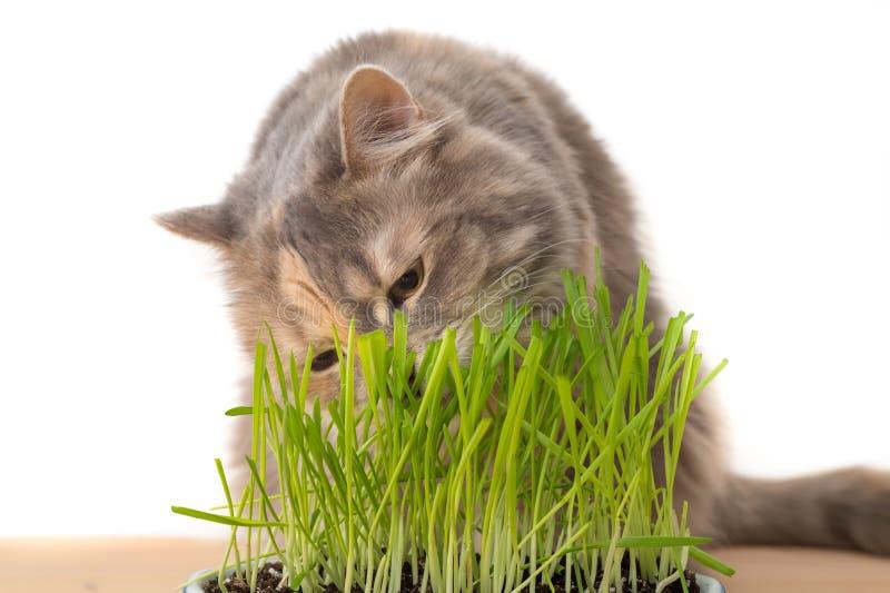 Gato que come a grama do gato imagens de stock royalty free