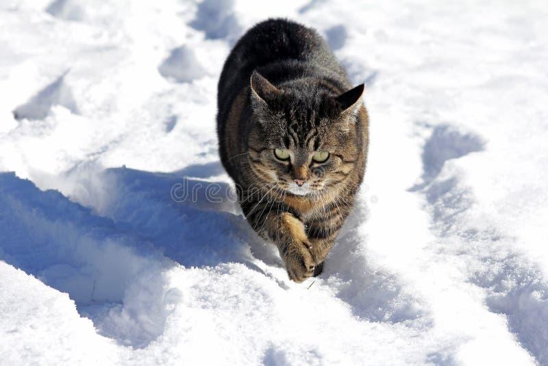 Gato que corre a través de la nieve imagen de archivo libre de regalías