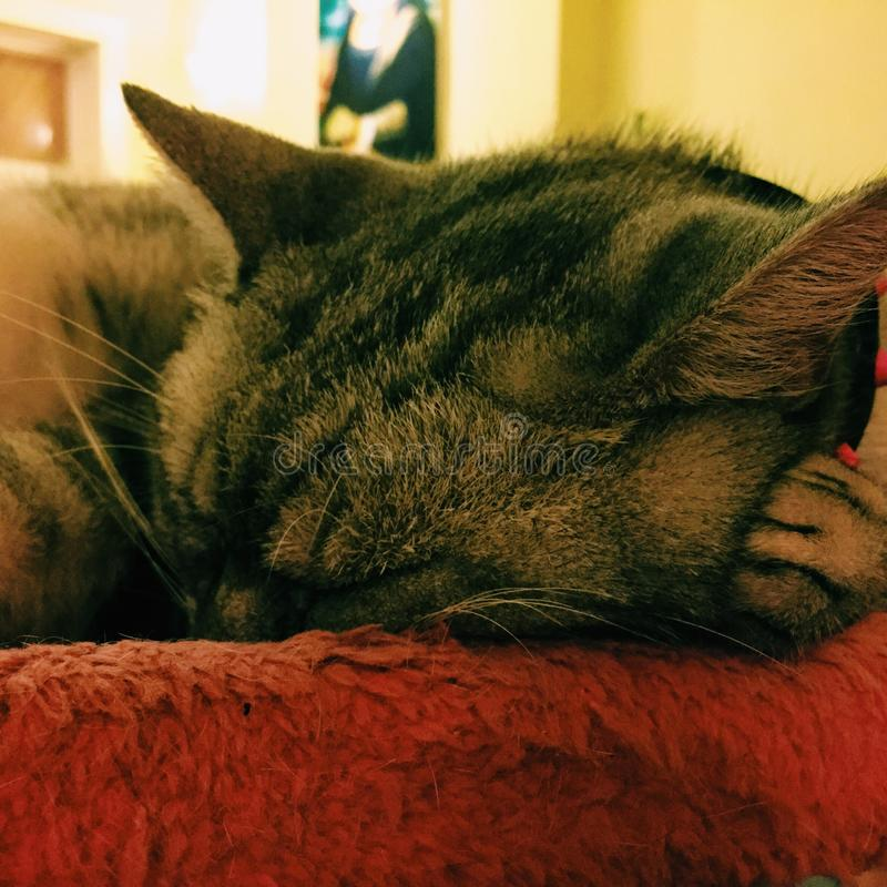 Gato que dorme em um coxim vermelho fotografia de stock royalty free