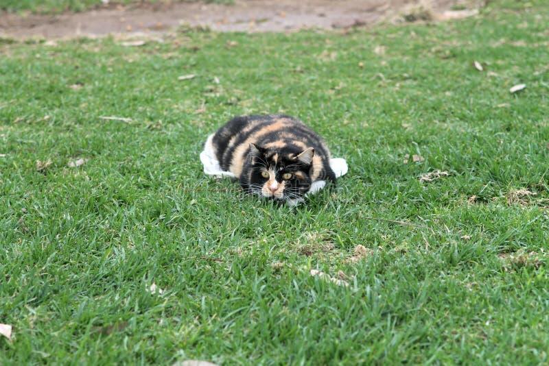 Gato que encontra-se na grama verde imagens de stock