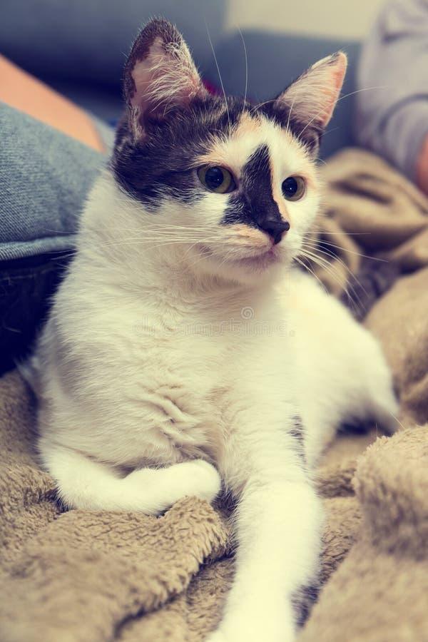 Gato que encontra-se no sofá imagem de stock