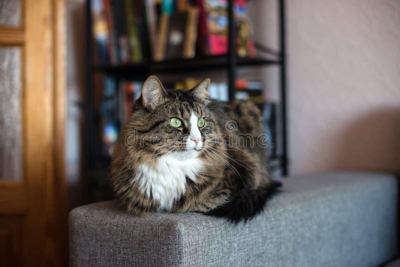 Gato que encontra-se no sofá Gato que relaxa perto da biblioteca foto de stock royalty free