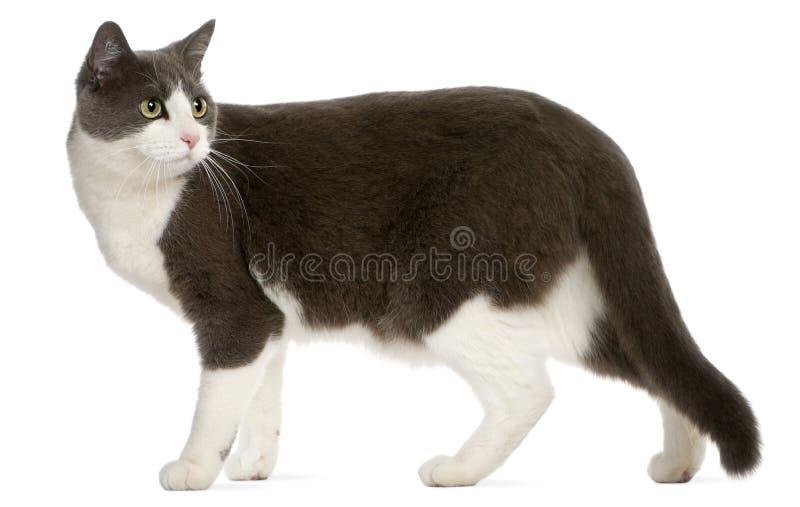 Gato que está na frente do fundo branco fotografia de stock royalty free