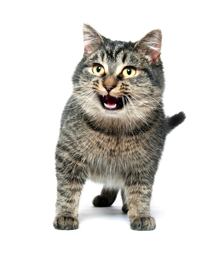 Gato que grita no fundo branco fotografia de stock royalty free