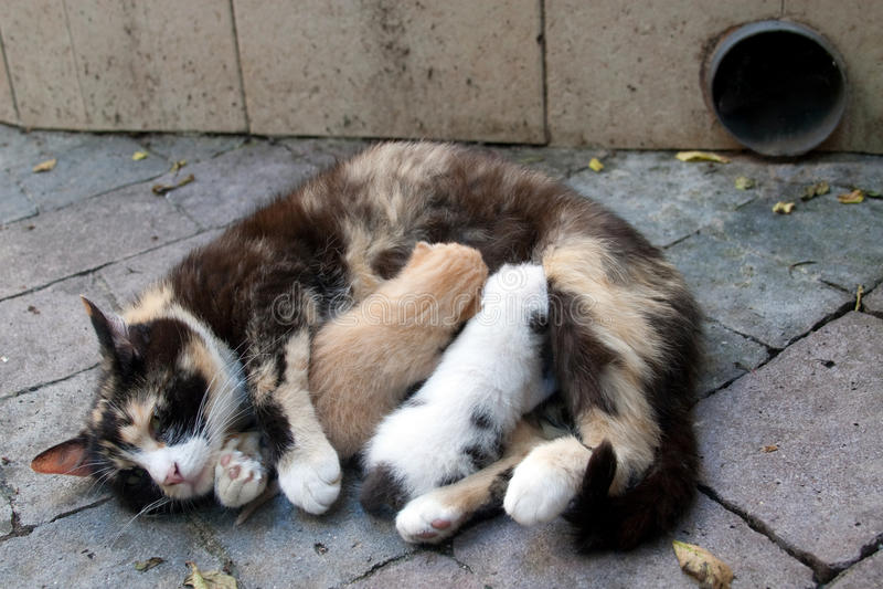 Gato que introduce dos gatitos imagen de archivo libre de regalías