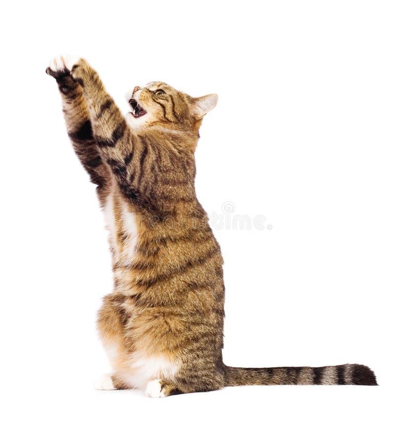 Gato que joga, meowing, travando. foto de stock royalty free
