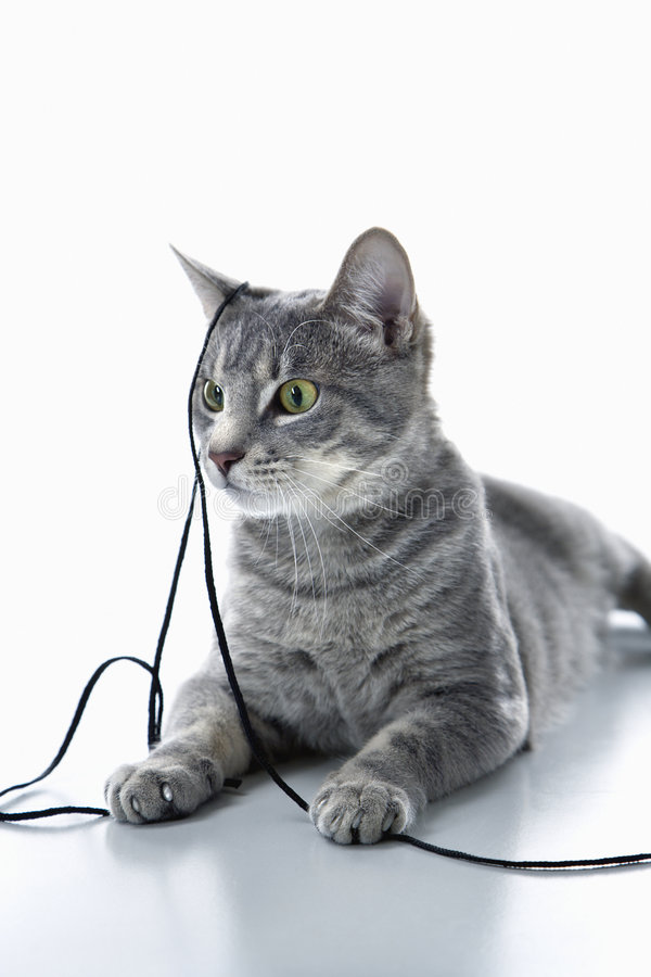 Gato que juega con la cadena. imagen de archivo libre de regalías