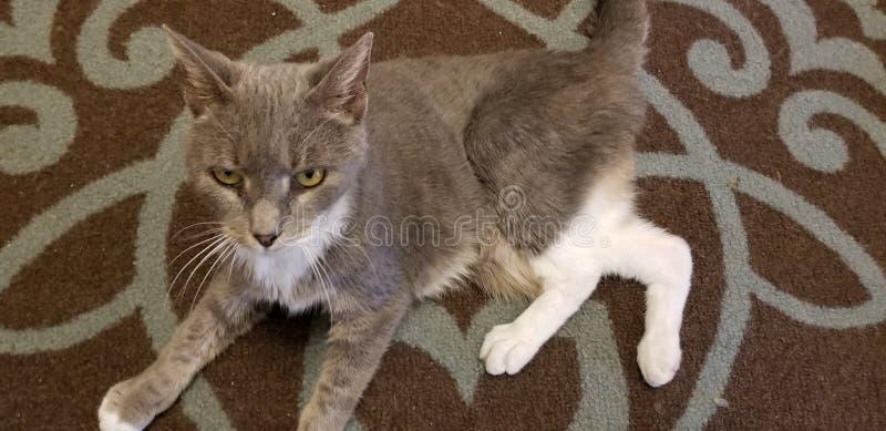 Gato que juega en el piso fotografía de archivo libre de regalías