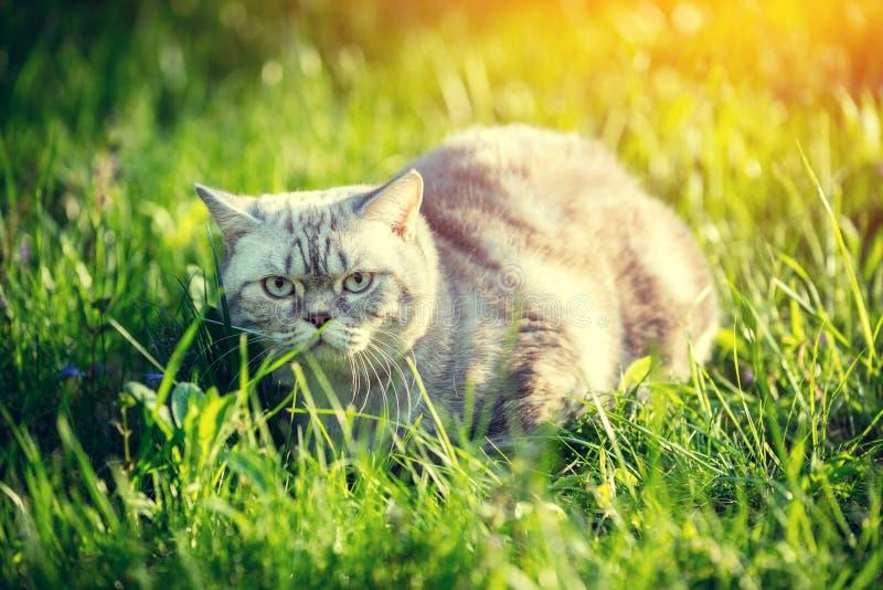 Gato que miente en una hierba verde imágenes de archivo libres de regalías