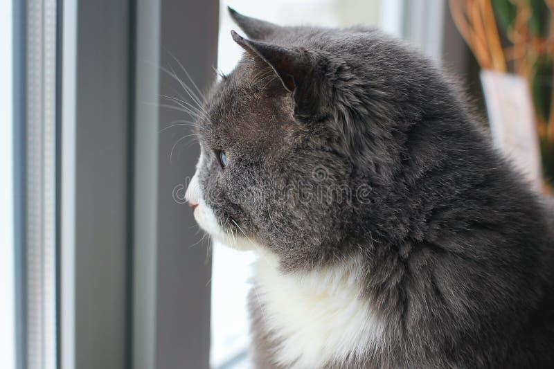 Gato que mira hacia fuera la ventana Gato hermoso que mira hacia fuera la ventana curioso Invierno frío blanco Gato gris con los  fotografía de archivo libre de regalías