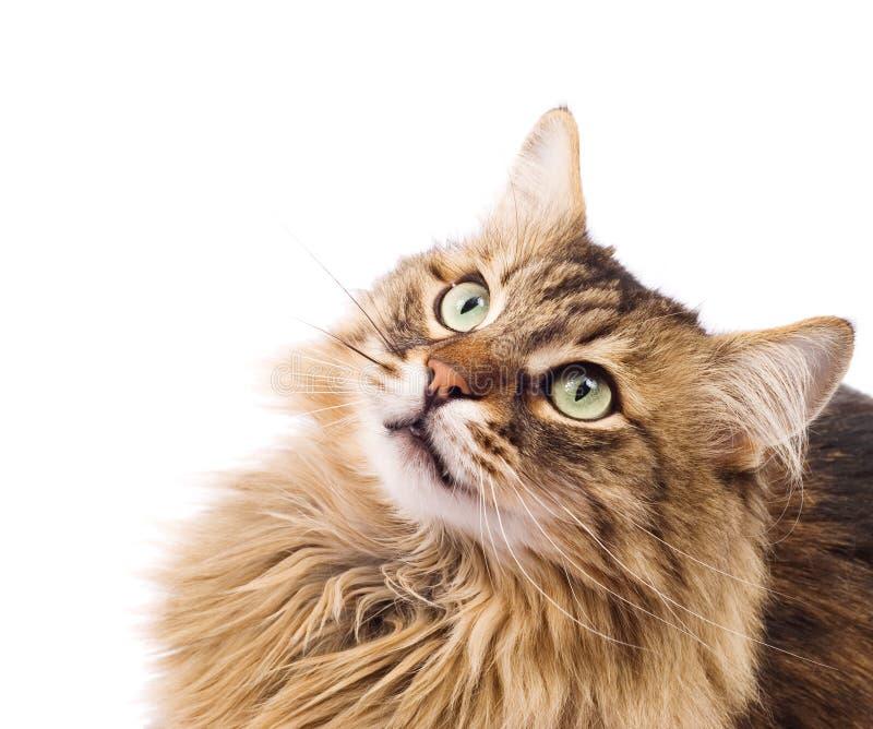 Gato que mira para arriba. Bozal fotografía de archivo libre de regalías