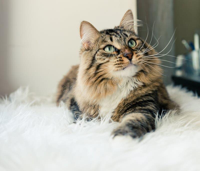 Gato que mira para arriba en cama fotografía de archivo