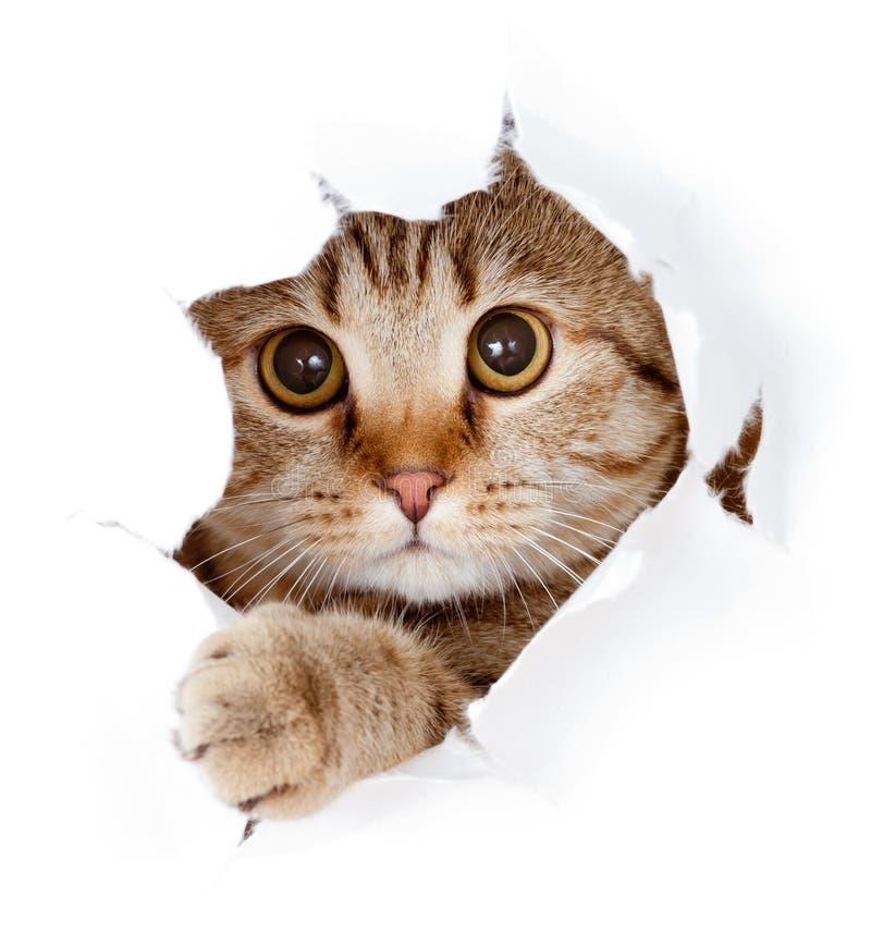 Gato que mira para arriba en el agujero rasgado cara de papel aislado imagen de archivo libre de regalías