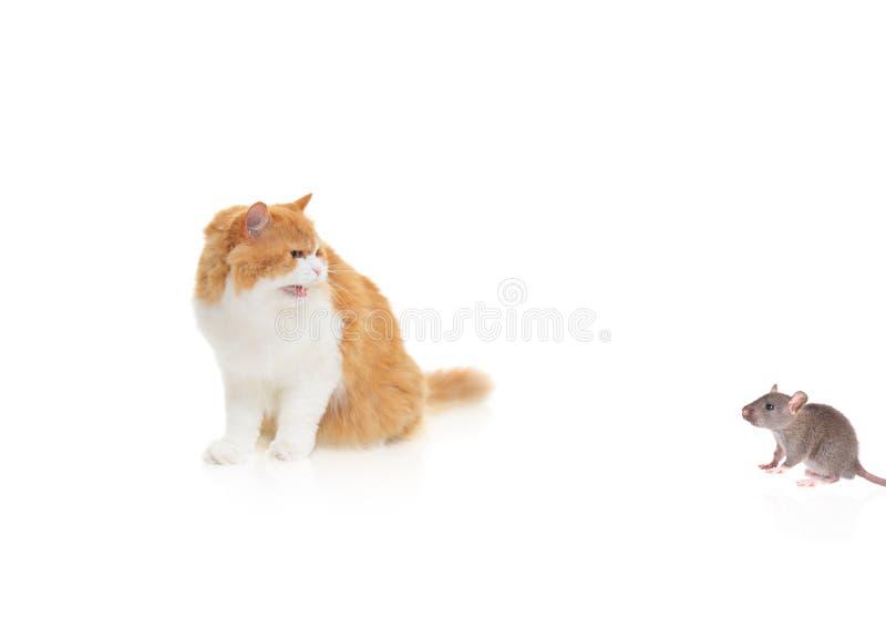 Gato que mira un ratón foto de archivo