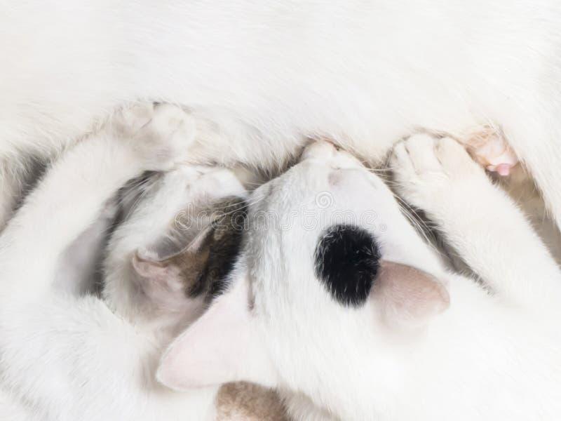 Gato que nutre seus gatinhos imagem de stock royalty free