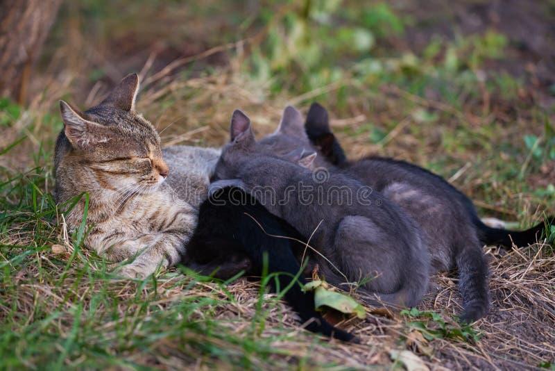Gato que nutre seus gatinhos imagem de stock