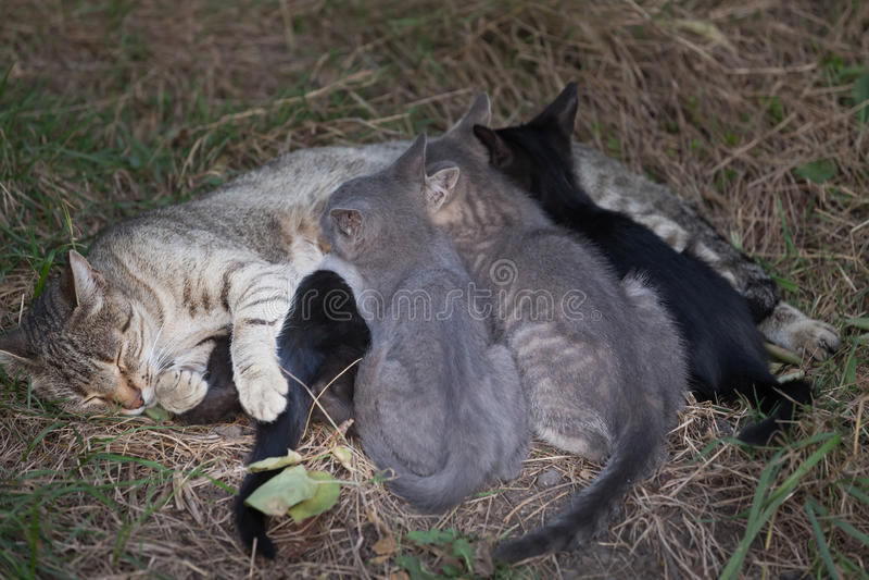 Gato que nutre seus gatinhos fotografia de stock